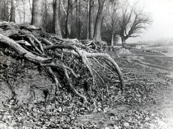 Корени на дървета до дунавския бряг - Видин
